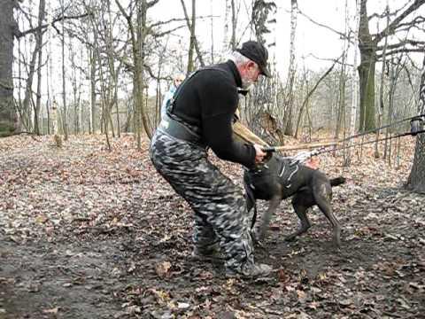 Cane corso.Bite training.episode5.test.new figurant - YouTube
