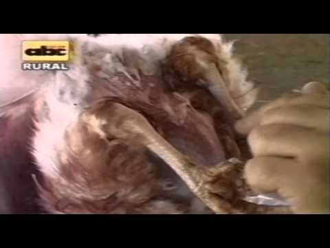 5. Selección de  aves ponedoras