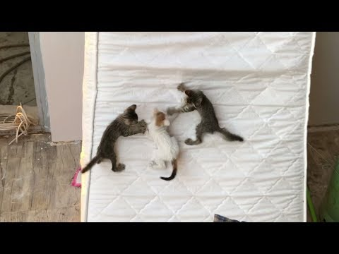 Mother Cat Watching and 4 Kittens Playing on Mattress