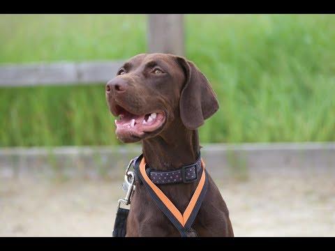 Margot - Vizsla x Springer - 2 Weeks Residential Dog Training