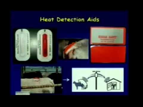 Synchronizing Estrous, Heat Detection, and AI