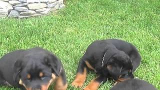 Rottweiler Puppies For Sale In Pa.
