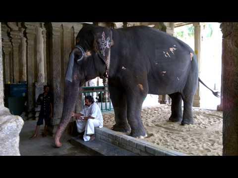 Srirangam Temple Elephant
