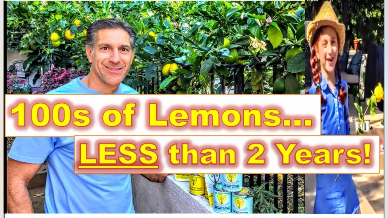 Free Standing Espalier Training Citrus Trees 100s Of Lemons Before After W Isabelle Rose