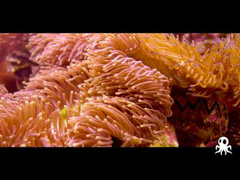 Scuba Adventures with Roctopus Dive  (Credit to Jellyman... Koh Tao Provideo))