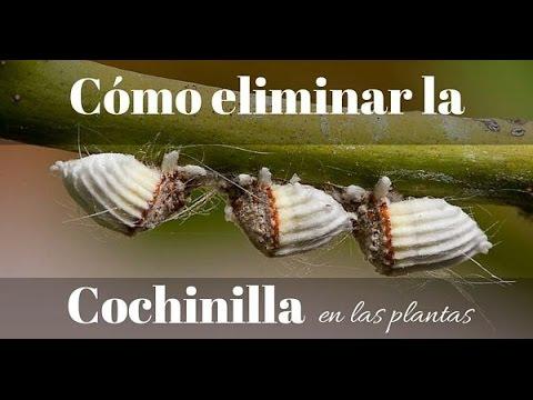 Cochinilla la plaga m s temida para nuestras plantas doovi for Como quitar las hormigas del jardin
