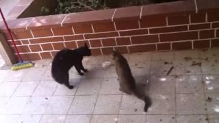 Лучшие кошачьи разборки Смешные приколы с кошками1