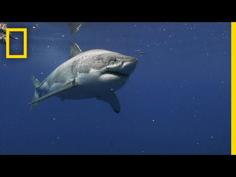 Great White Sharks of Guadalupe Island | Most Wanted Sharks