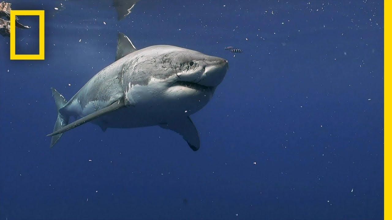 Great White Shark crosses the Atlantic Ocean