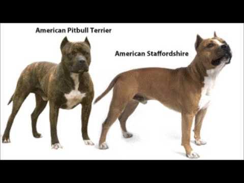 Diferencias entre un American Pit Bull Terrier y un American Stafforshire Terrier