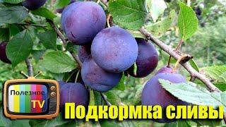 Подкормка вишни весной: правила, удобрения, видео