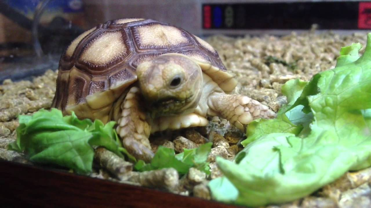 Food For Baby Sulcata Tortoise