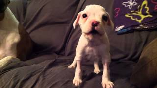 Dj Sweigard - Cutest White Boxer Puppy!! (fostering)