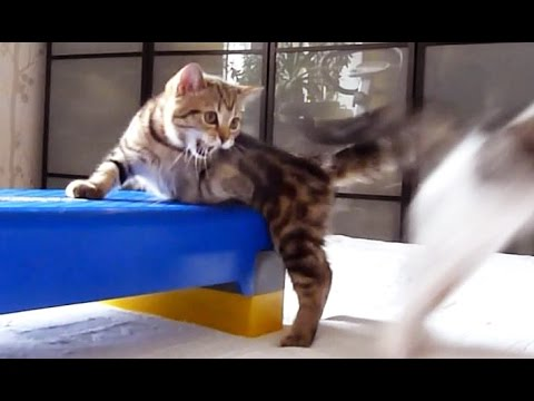 Step by Step | Funny Cats and Cute Kittens playing with stepboard
