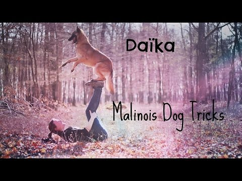 Daïka, Malinois Dog Tricks [2 Years]