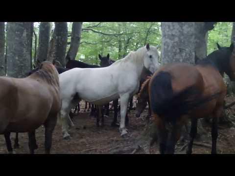 Вопрос: Как дикие лошади обходятся без подков, что известно?