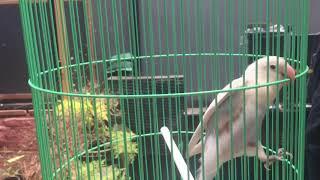 Lovebird pastel Putih jinak