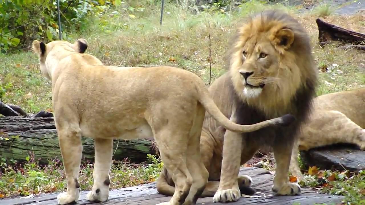 Download Female Lion in HEAT/ESTRUS