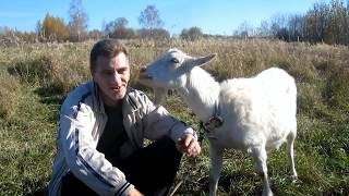All about goats. I want to get a goat. For beginners goat breeders.