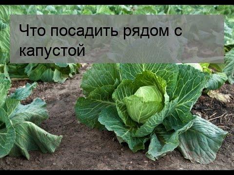 Вопрос: Можно ли сажать баклажаны рядом с капустой?