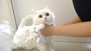 ENG) Fluffy cat is washed with flully foam by her owner.