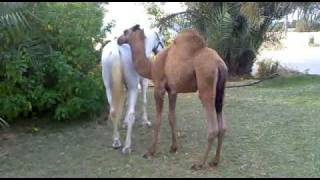 Baby Camel playing with a horse