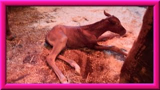 Quarter Horse Mare Foaling (Giving Birth) 3/21/2013
