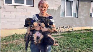 Продаются! Щенки Геры и Афины. Длинношерстные Немецкие Овчарки. Long-haired German shepherd puppies.