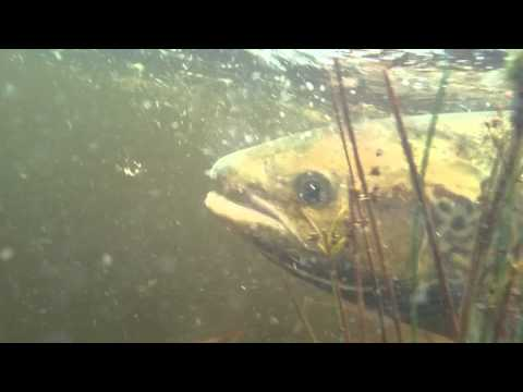 Orchy Salmon