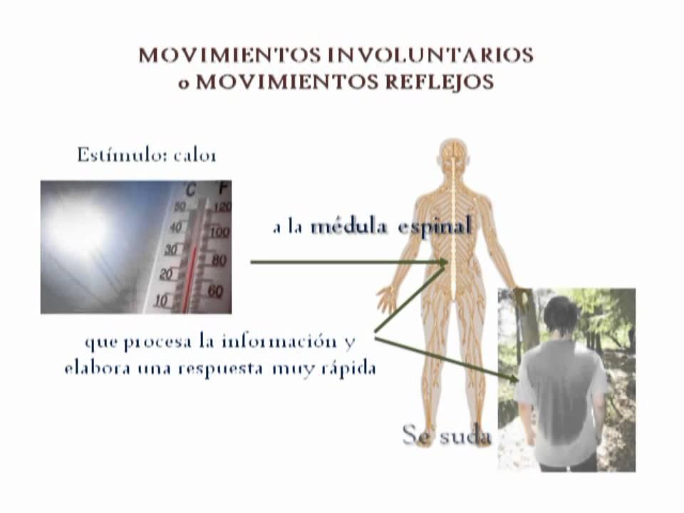 MOVIMIENTOS VOLUNTARIOS Y REFLEJOS-LA COORDINACIÓN - YouTube