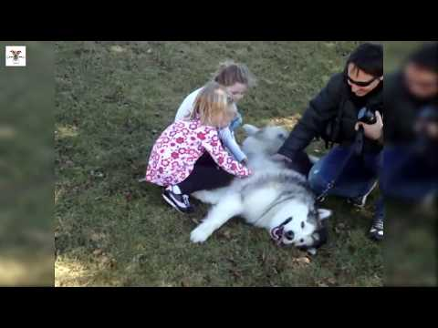Baby and Giant Alaskan Malamute Dog - Funny Dogs and Babies Compilation 2017