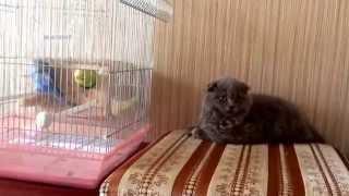 Как кошка лежит и смотрит на попугаев