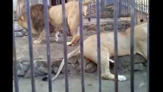Ухаживание и любовные игры льва и львицы!!!!! смотреть всем!!!! love games lion and lioness