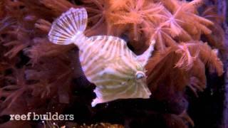 Radiated Filefish At Liveaquaria