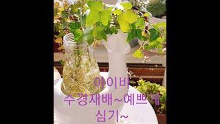 아이비 수경재배로 번식 시키기~