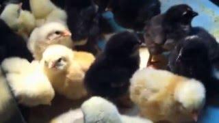 видео Характеристика породы кур Мехеленская кукушка, ее особенности и фото