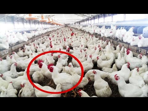 How to Start Chicken Farm Business -  Organic Broiler Poultry Farming of Chickens & Goats