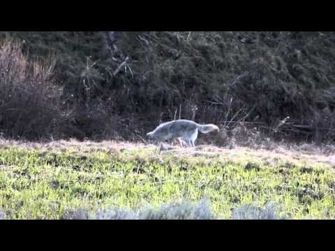 Yellowstone Coyote Catching a Vole
