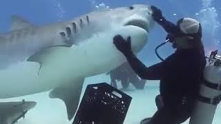 Акула, море, дикий мир, животные, рыбы, аквалангист, в мире животных