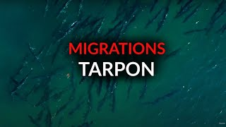 AFTCO Migrations TARPON | ACCURATE Reels