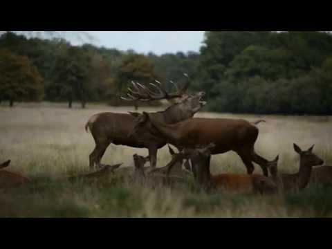 Richmond Park Red Deer Rut 23/09/15
