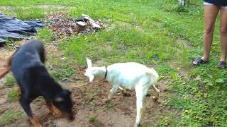 Doberman Pinscher and Baby Goat Play