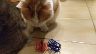 #funnycat Peppi and Mac with the Spring