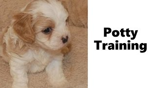 How To Potty Train A Cavanese Puppy - Cavanese House Training Tips - Housebreaking Cavanese Puppies