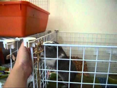 羅密灰與豬麗妮 (huiniuni- Guinea pig/cavy)