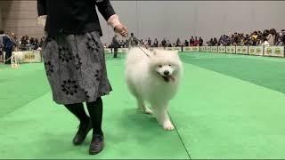 I have seen SAMOYED dog show .