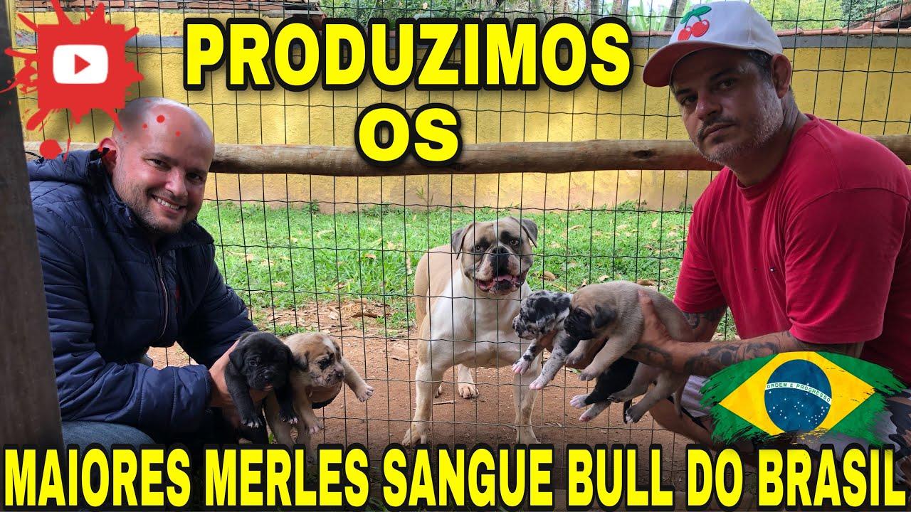 🔥PRODUZIMOS OS MAIORES E MAIS PESADOS MERLES SANGUE BULL DO BRASIL @CANIL MONTE DOS SOARES