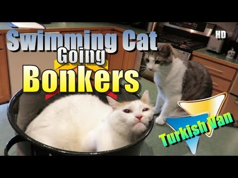 Funny Cat In Stock Pot - Swimming Turkish Van Cat
