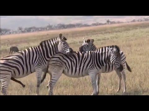 Download Horse Mating compilation 2020 - Zebra breeding - Animals mating