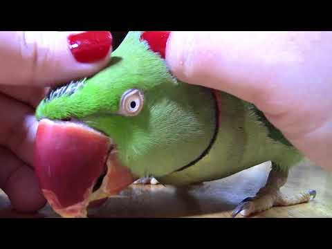 Preening My Parrot |  Sir William Gets a Massage | SOOTHING VIDEO